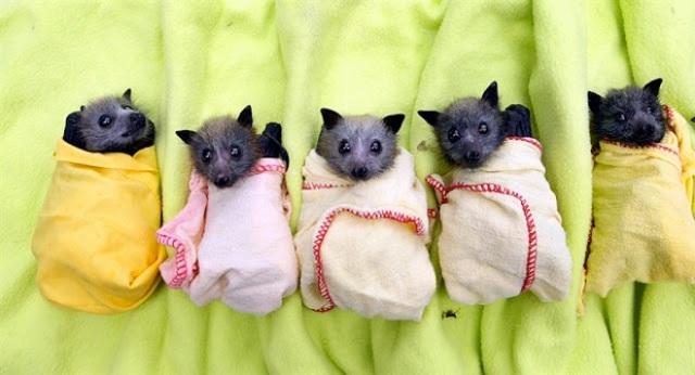 bats-in-blankets