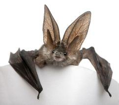 Gray-Long-Eared-Bat-White-Background.jpg.838x0_q80